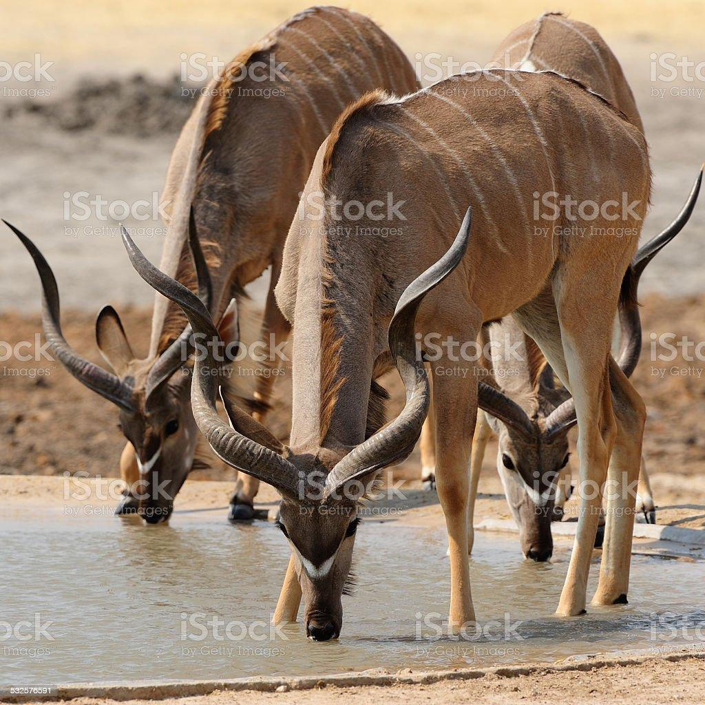 Male greater kudus drinking stock photo
