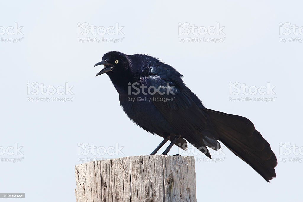 Male Great-tailed Grackle Calling From a Wooden Post - Texas stock photo
