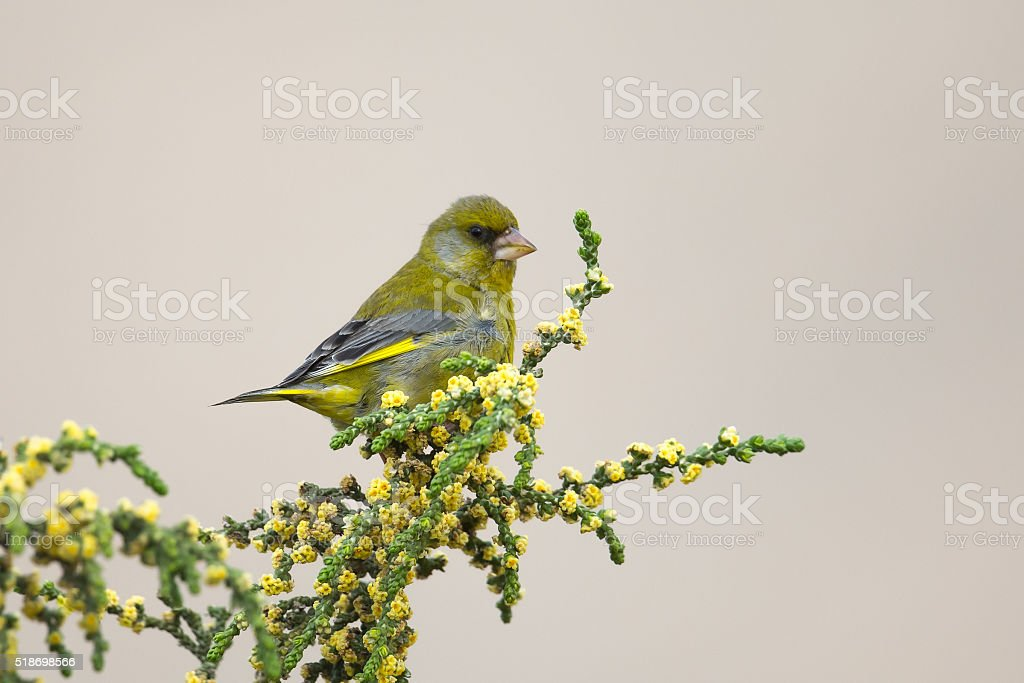 Male Greenfinch perched stock photo