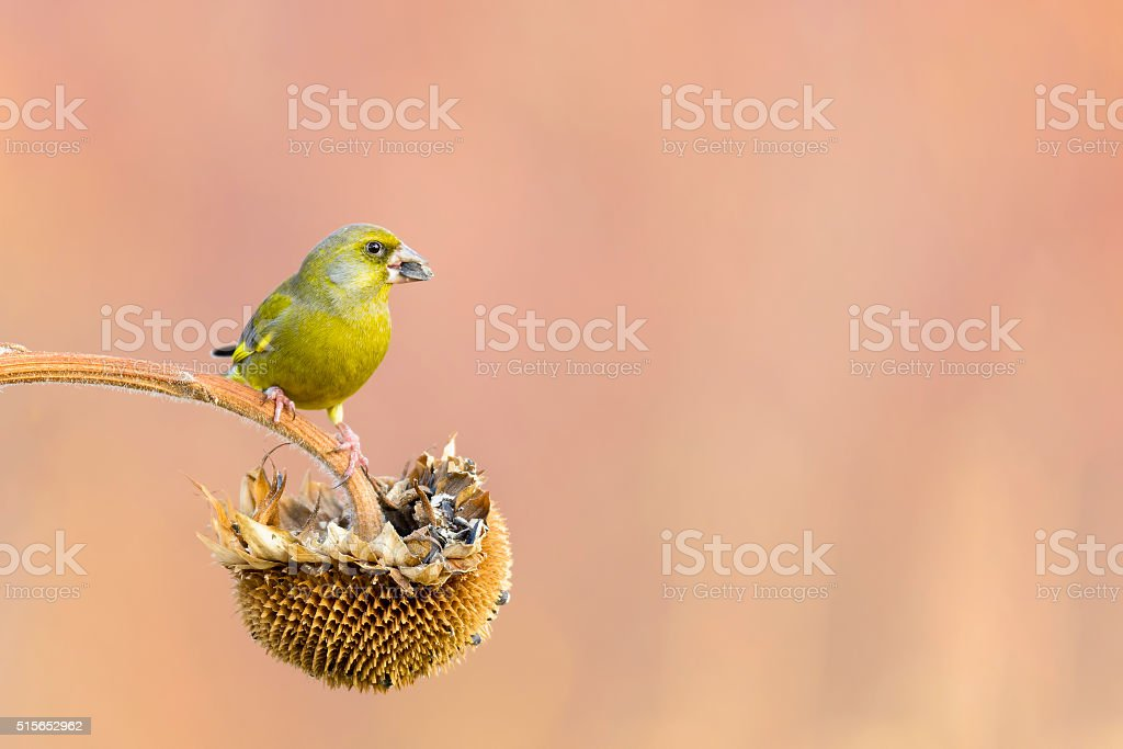 male greenfinch stock photo