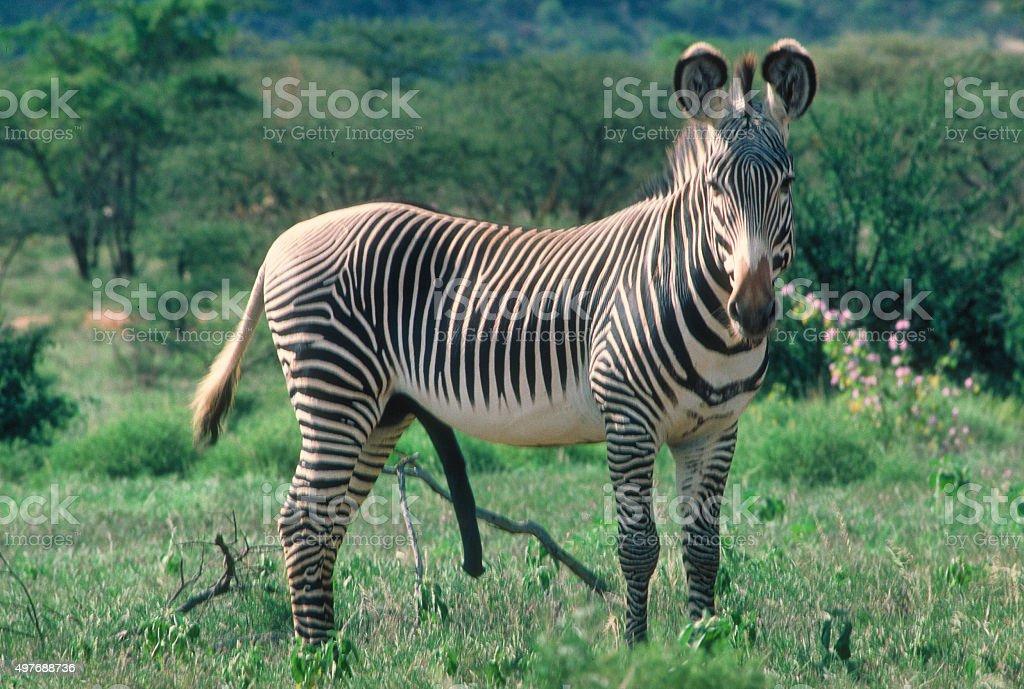 Male Grevy's zebra Equus grevyi in Samburu 1986 stock photo