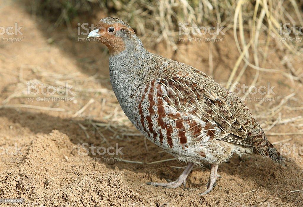 Male Grey Partridge (Perdix perd.) royalty-free stock photo