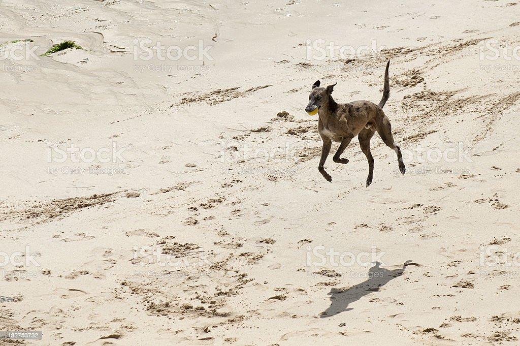 Male Greyhound royalty-free stock photo