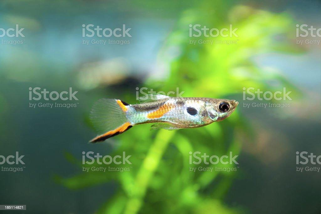Male Guppy (Poecilia reticulata) stock photo