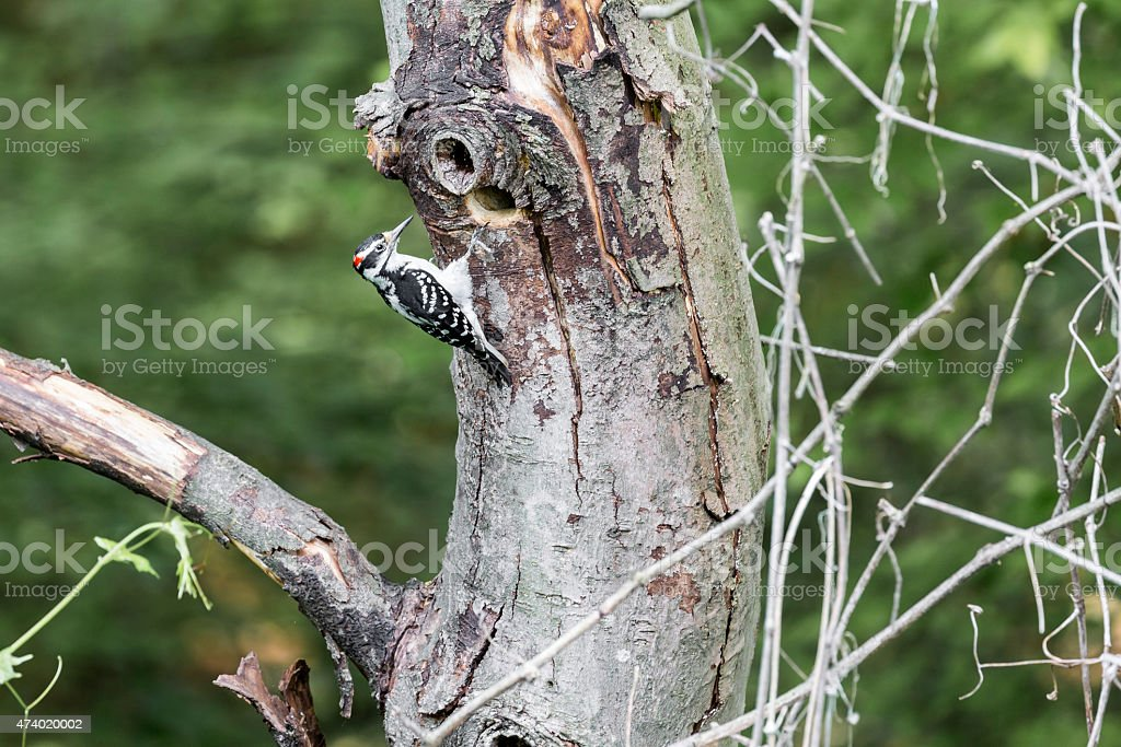Male Hairy Woodpecker (Picoides villosus) Bringing Food to Young stock photo
