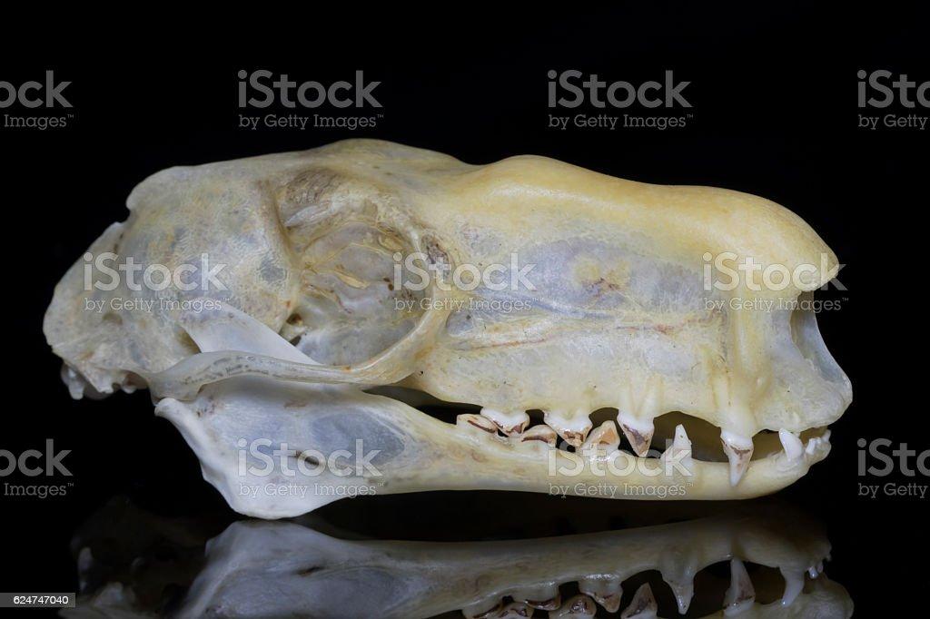 Male Hammerhead Bat (Hypsignathus monstrosus) Skull - Lateral View stock photo