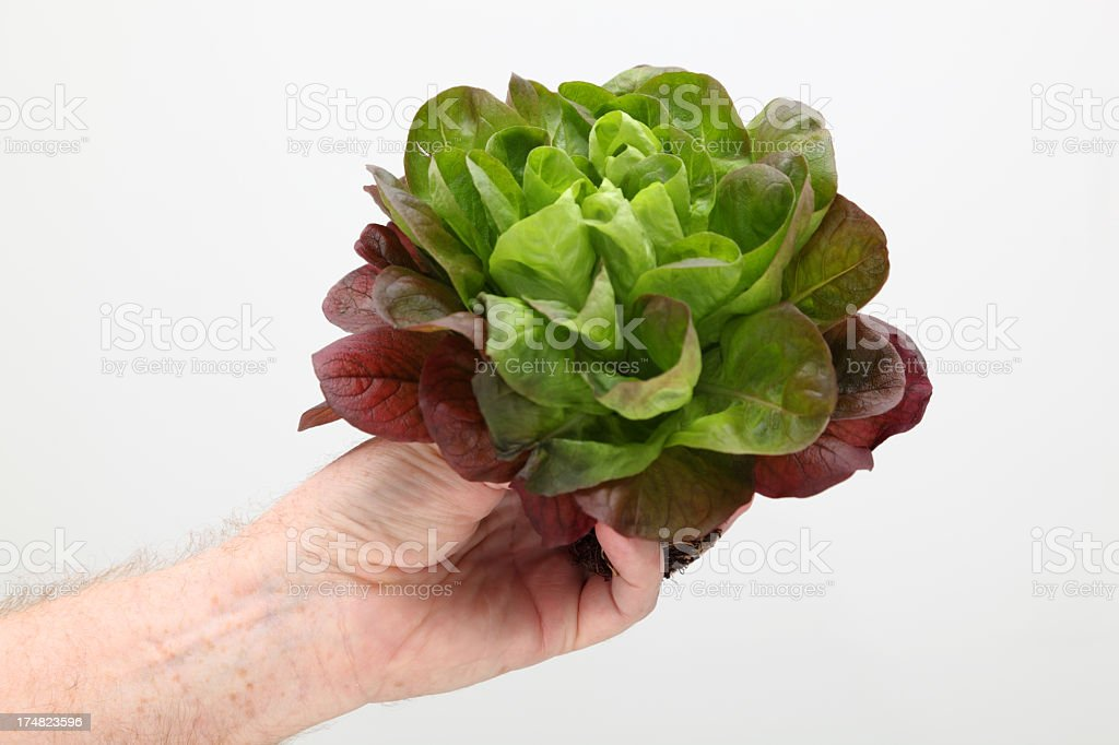 male hand holds red salanova lettuce on plain white background royalty-free stock photo