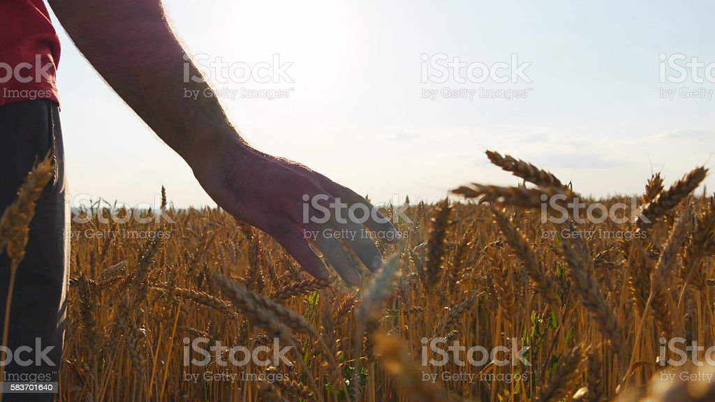 Male hand moving over wheat growing on the field.  of foto de stock libre de derechos