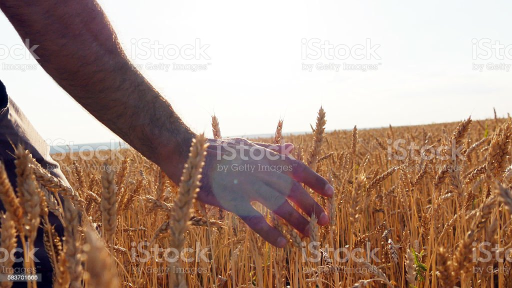 Male hand moving over wheat growing on the field.  of foto de stock libre de derechos
