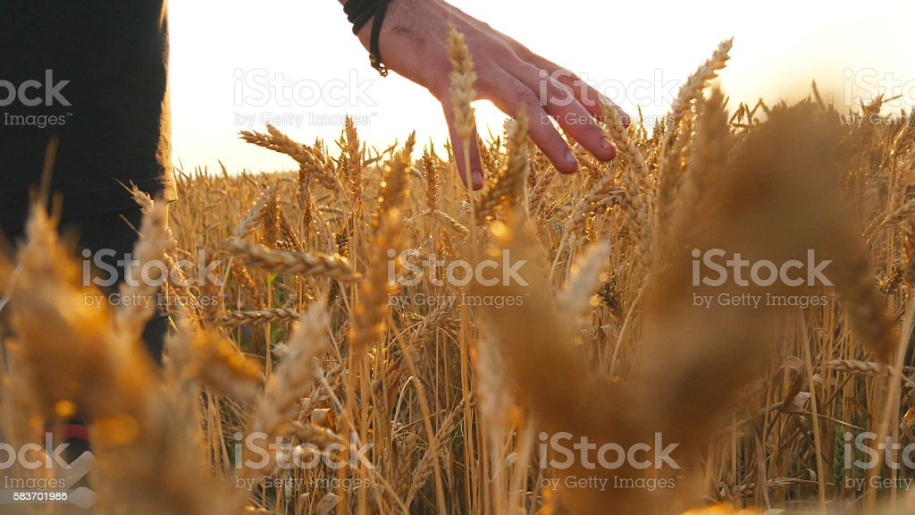Male hand moving over wheat growing on the field. Young foto de stock libre de derechos