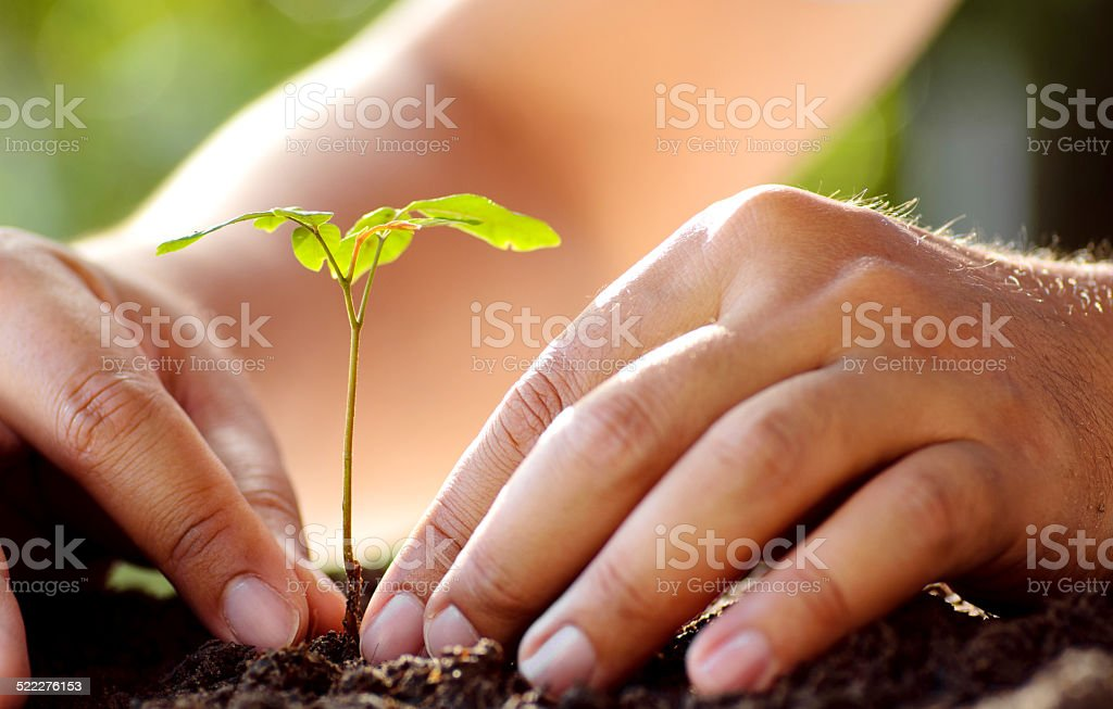 Male hand planting young tree over green background stock photo
