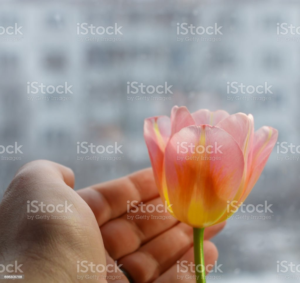Male hand with pink yellow tulip on blurred urban background stock photo