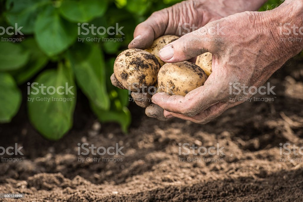 Male hands harvesting fresh potatoes from garden stock photo