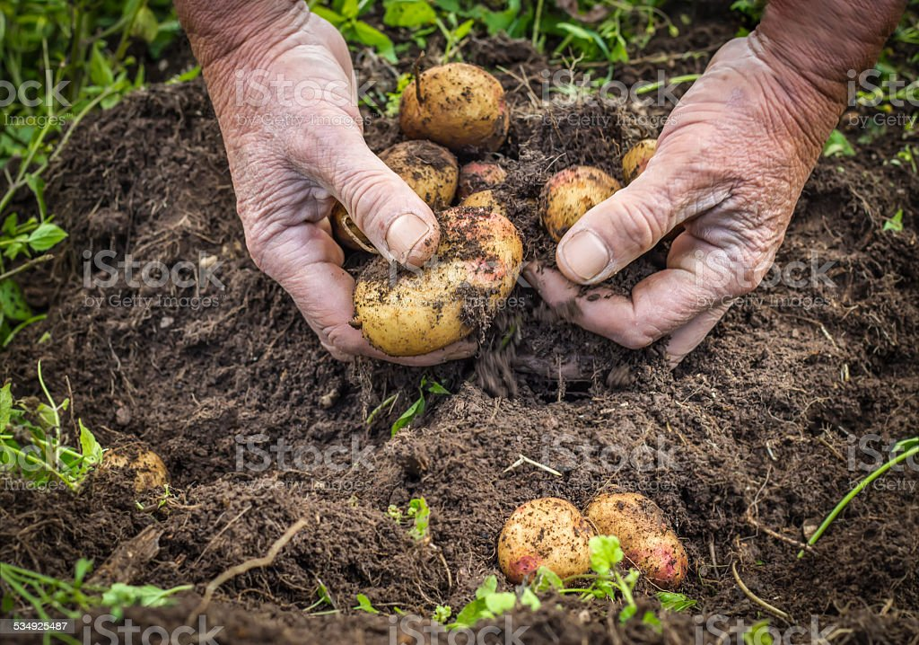Male hands harvesting fresh potatoes from soil stock photo