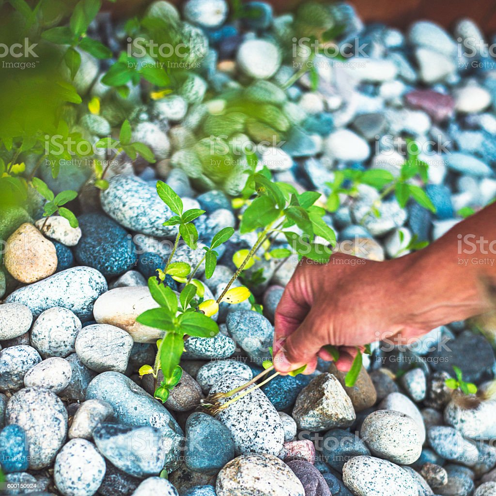 Male hands pulling weeds in back yard. Gardening maintenance stock photo