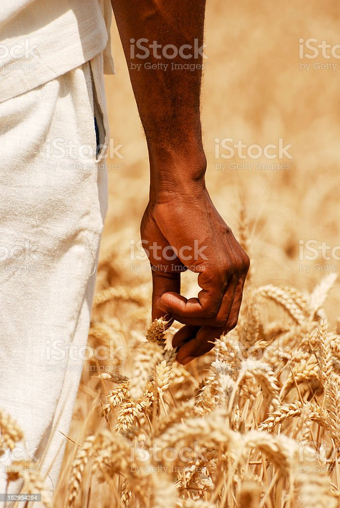 Male hands touching the wheat close up royalty-free stock photo