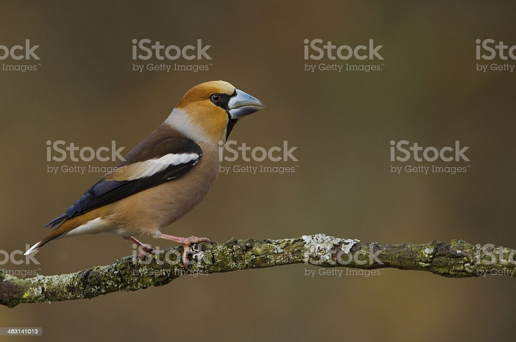 Male Hawfinch royalty-free stock photo