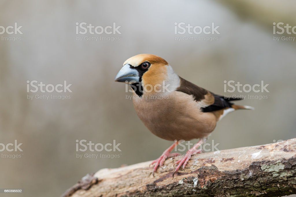 Male Hawfinch sitting on a branch stock photo