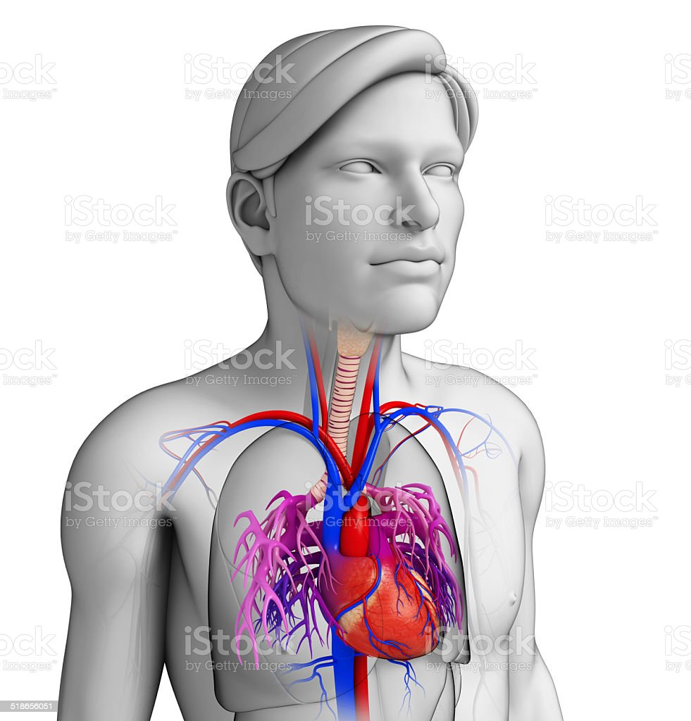 Male heart anatomy stock photo