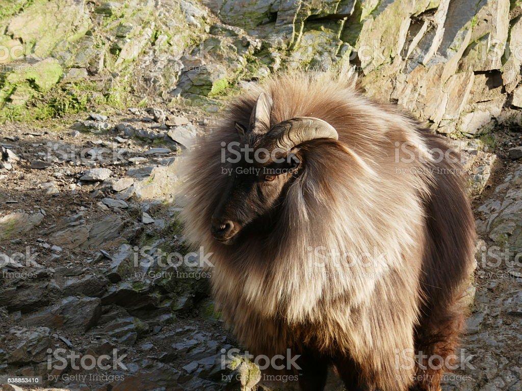 Male Himalayan tahr closeup stock photo