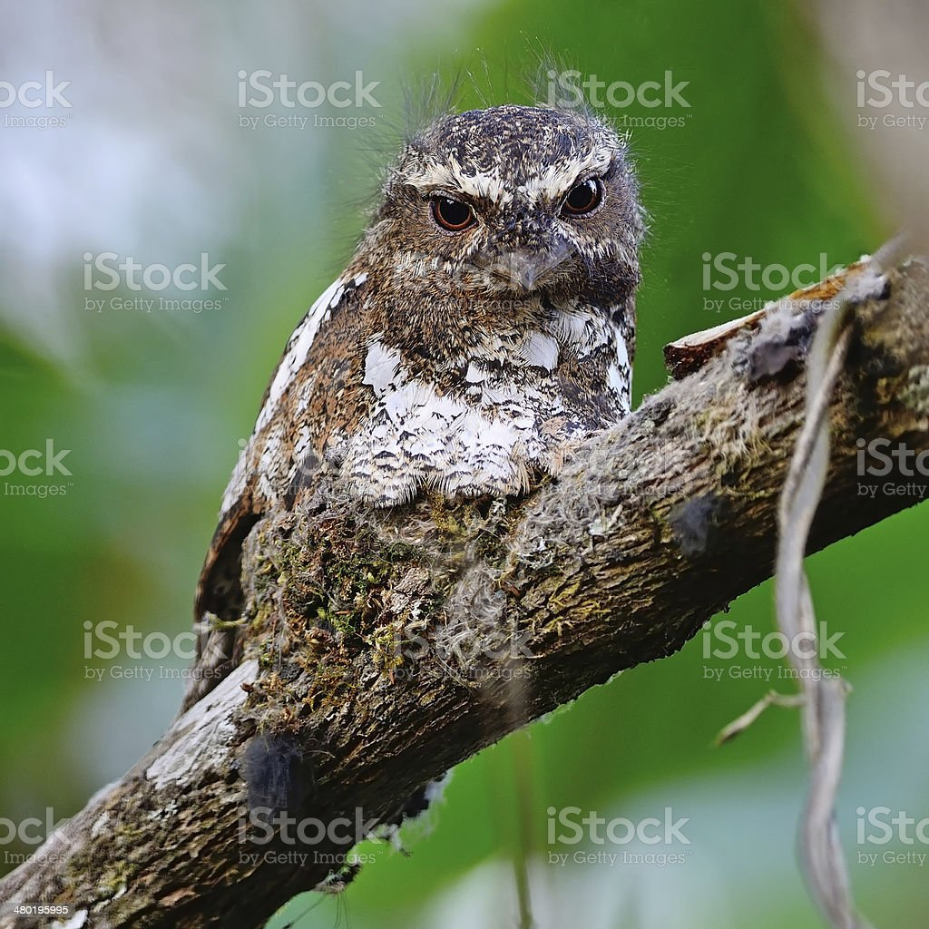 male Hodgson Frogmouth stock photo