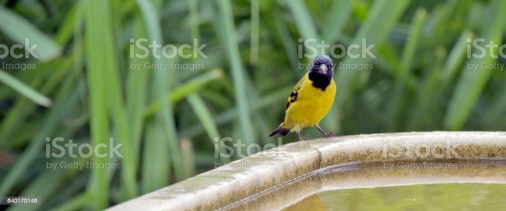 Male hooded siskin at the water's edge stock photo