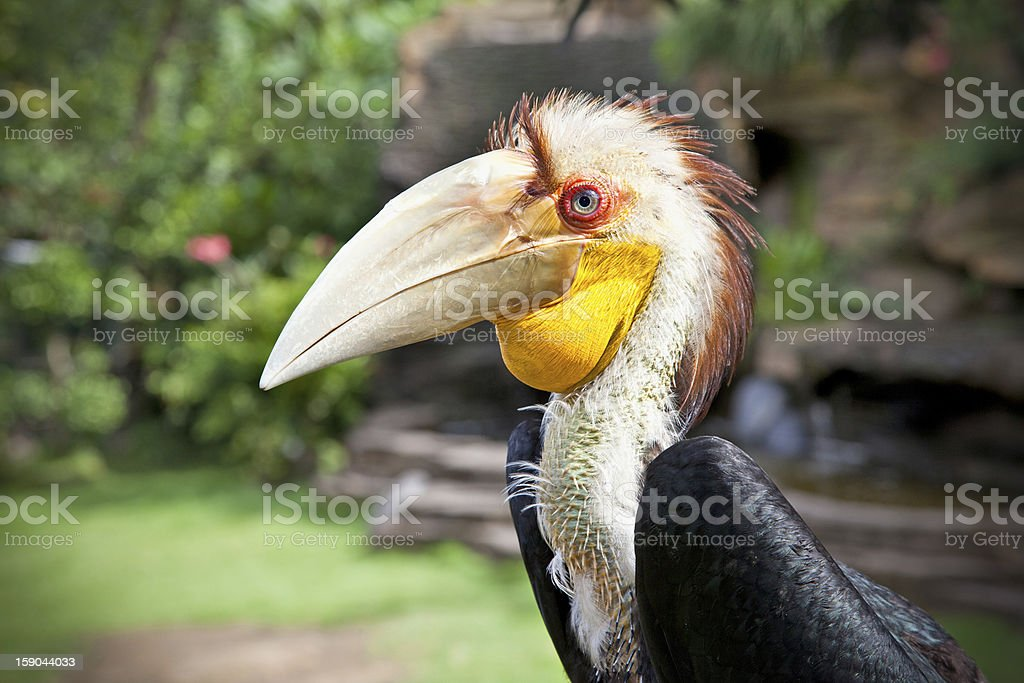 Male Hornbill in nature surrounding on Bali royalty-free stock photo