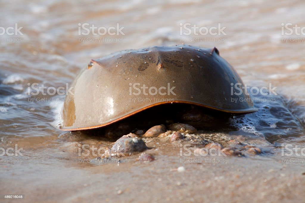 Male Horseshoe Crab (Limulus polyphemus) stock photo