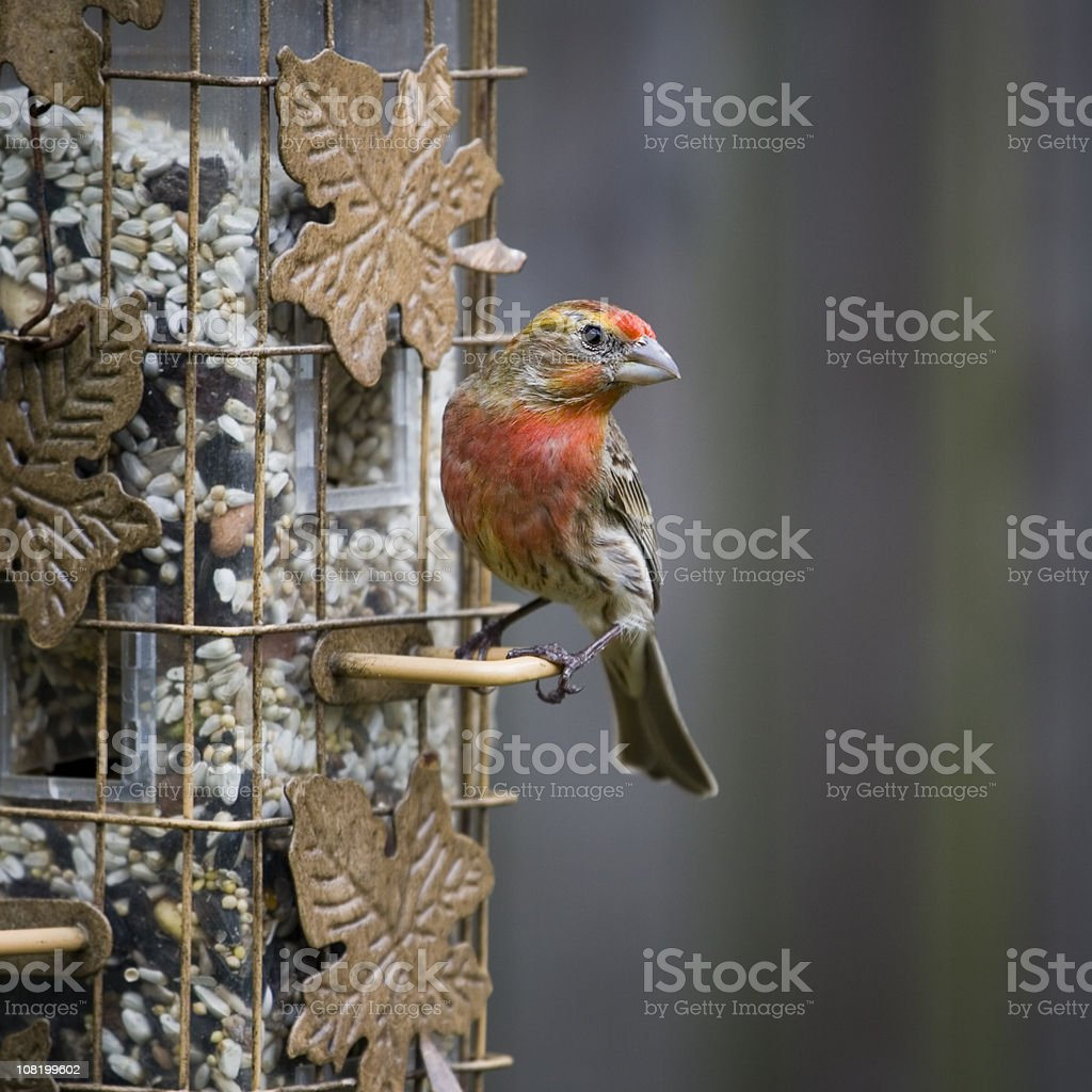 Male House Finch Sitting on Bird Feeder royalty-free stock photo