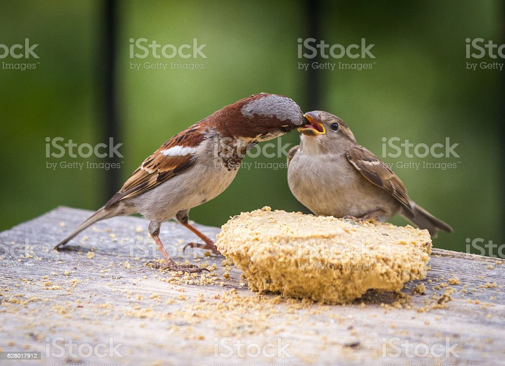 Male house sparrow feeding a fledgling bird stock photo