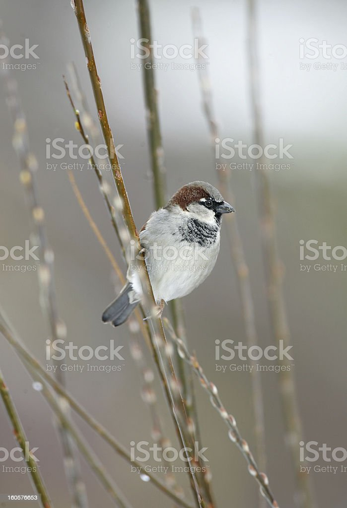 Male House Sparrow (Passer domesticus) royalty-free stock photo