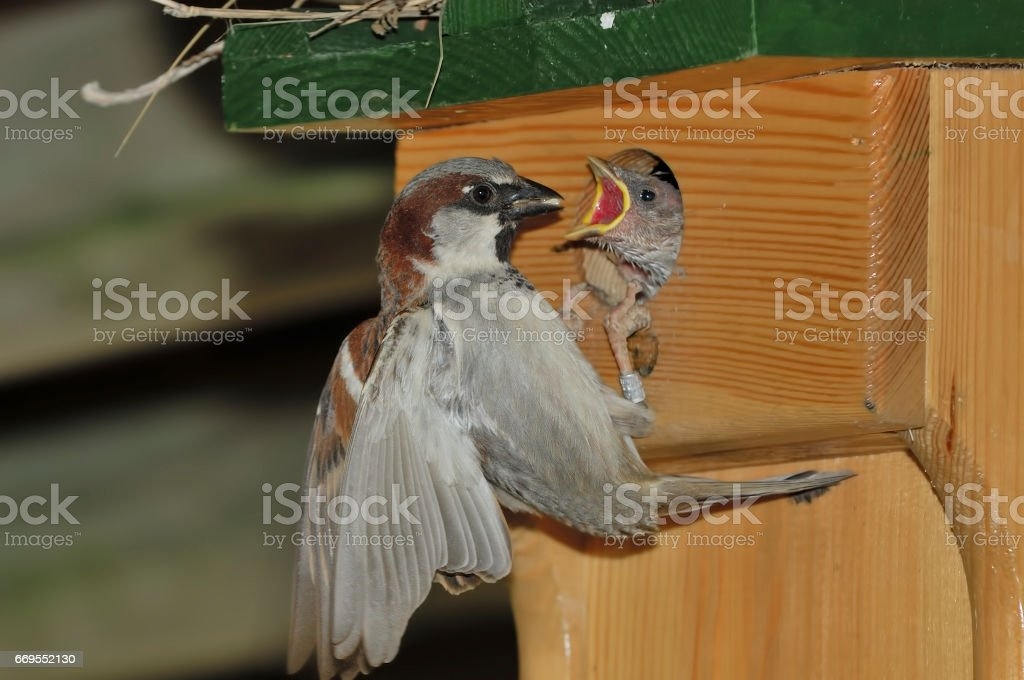 Male House Sparrow (Passer domesticus) stock photo
