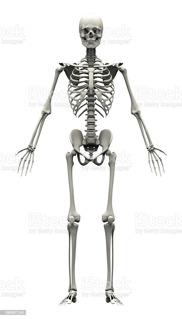 male human skeleton front view stock photo 186067249 | istock, Skeleton