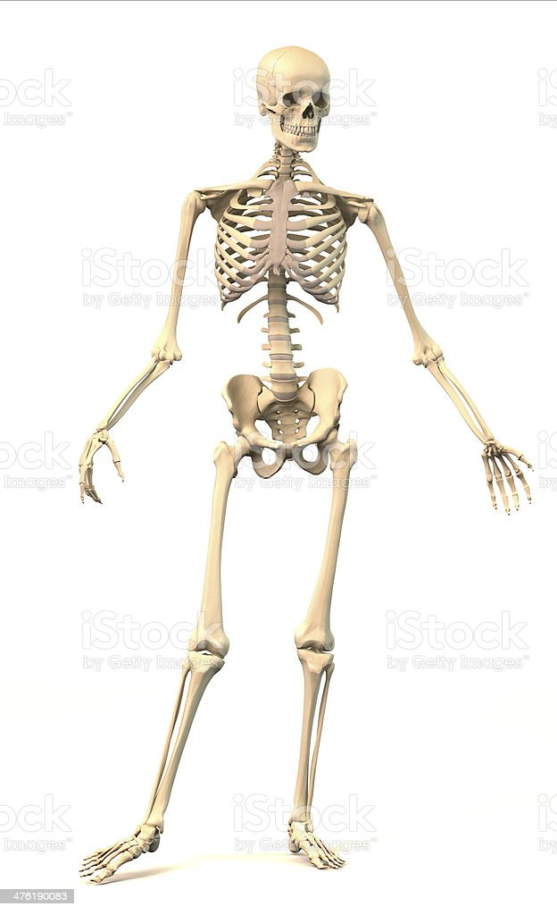 Male Human skeleton, in dynamic posture, front view. stock photo