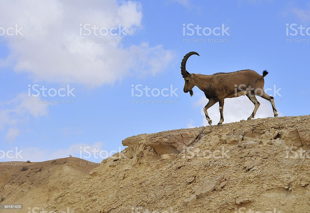 Male ibex royalty-free stock photo