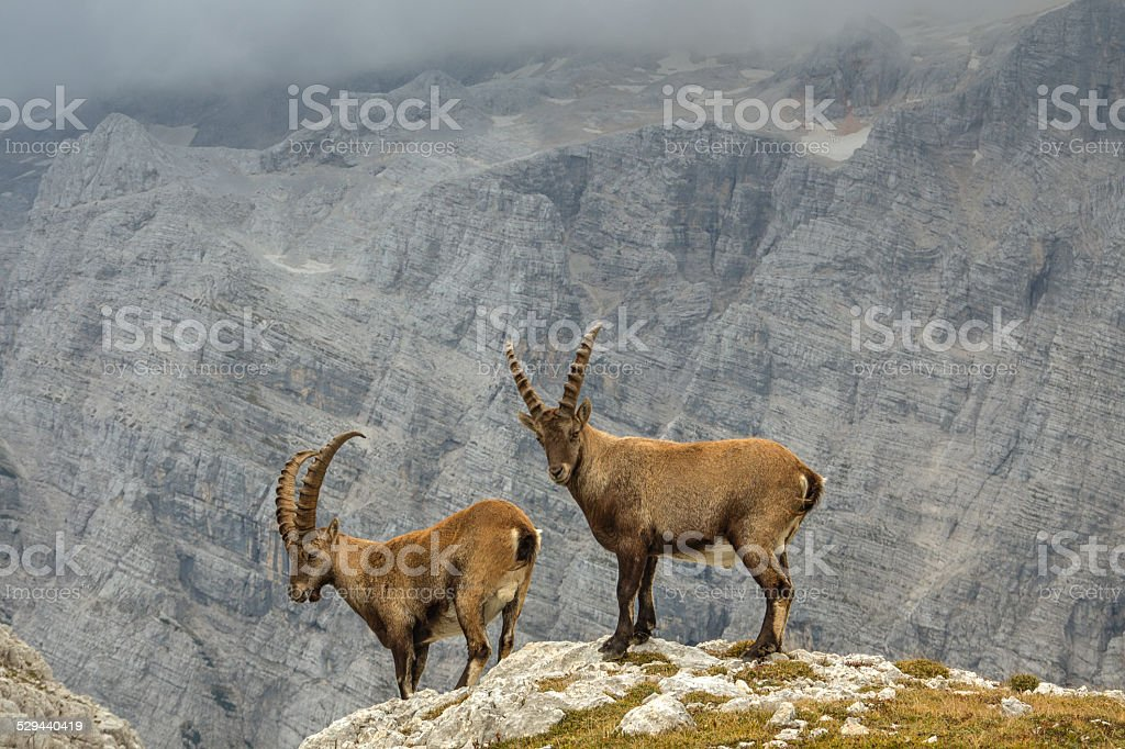 Male Ibexes above the cliff stock photo