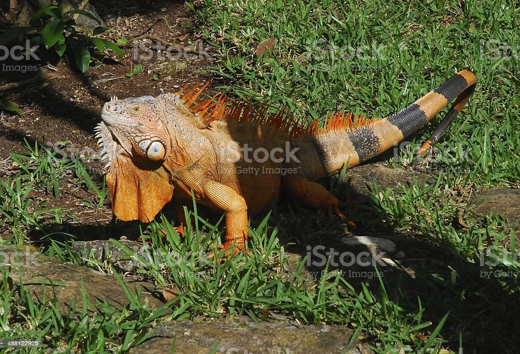 Male Iguana on Cozumel Island, Mexico royalty-free stock photo