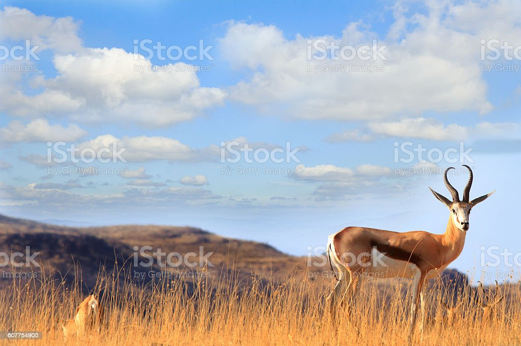 Male Impala on the brow of a hill stock photo