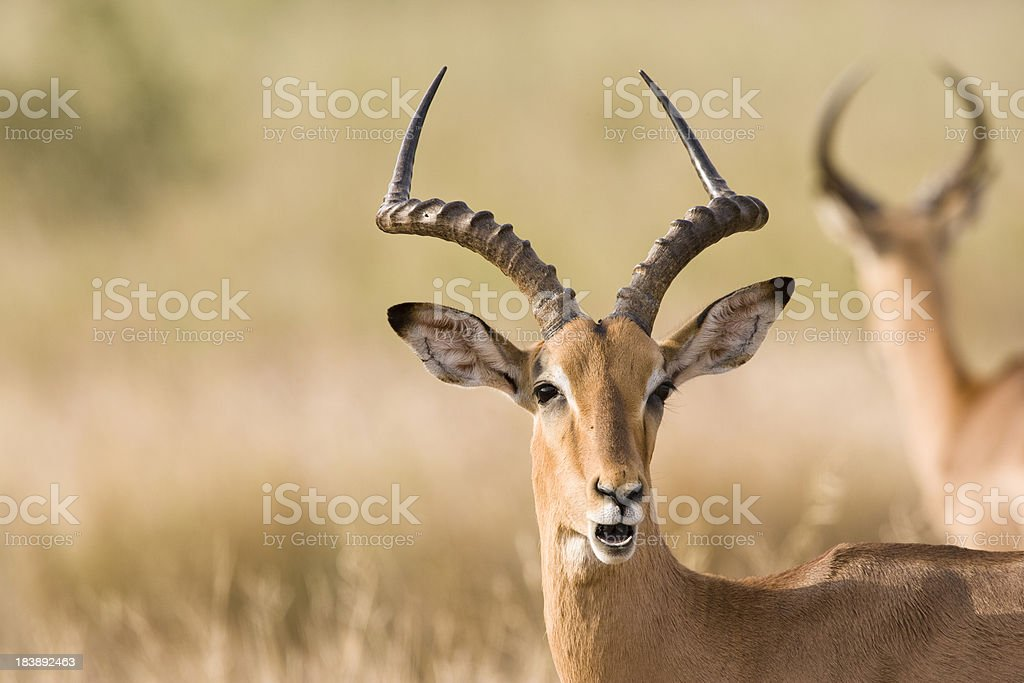 Male impala (Aepyceros melampus) royalty-free stock photo