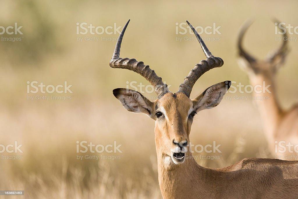 Male impala (Aepyceros melampus) stock photo