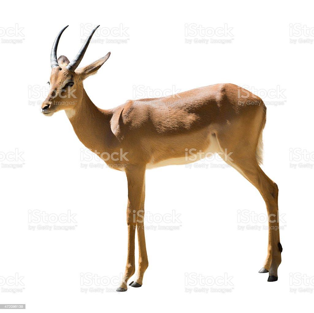 Male impala stock photo