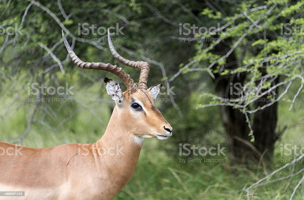 male impala stock photo