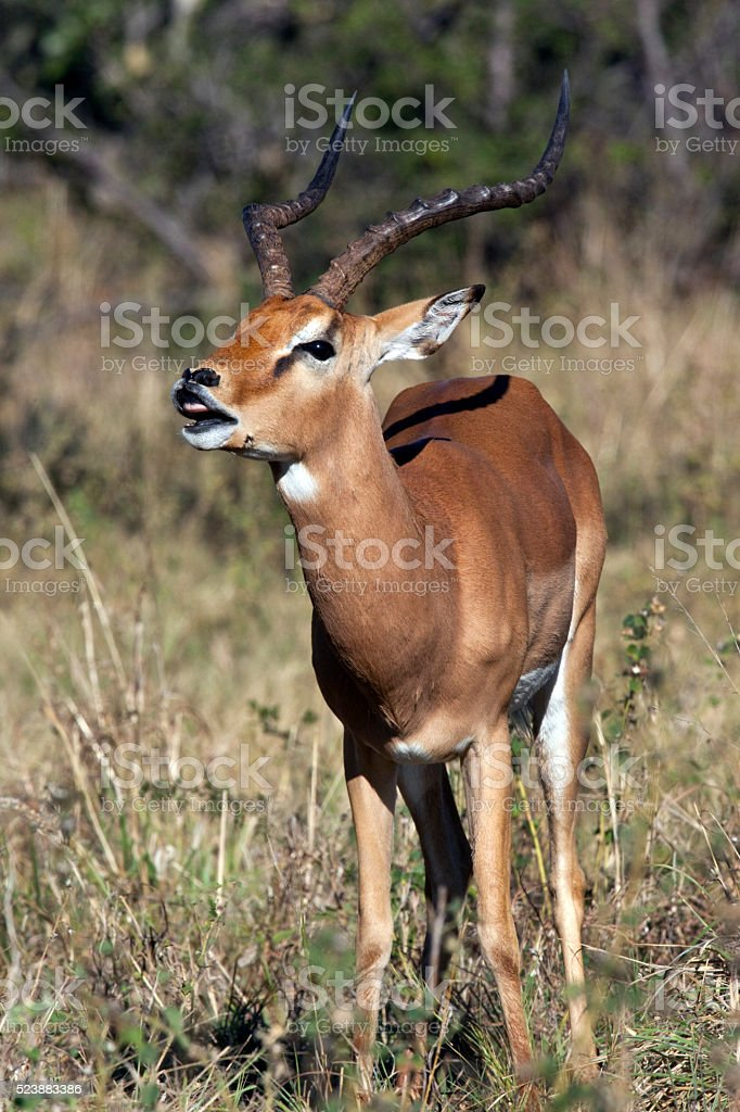 Male Impala showing the Flehman Response - Botswana stock photo