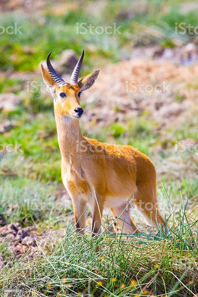 Male impala stands at the savannah of Serengeti in Africa stock photo