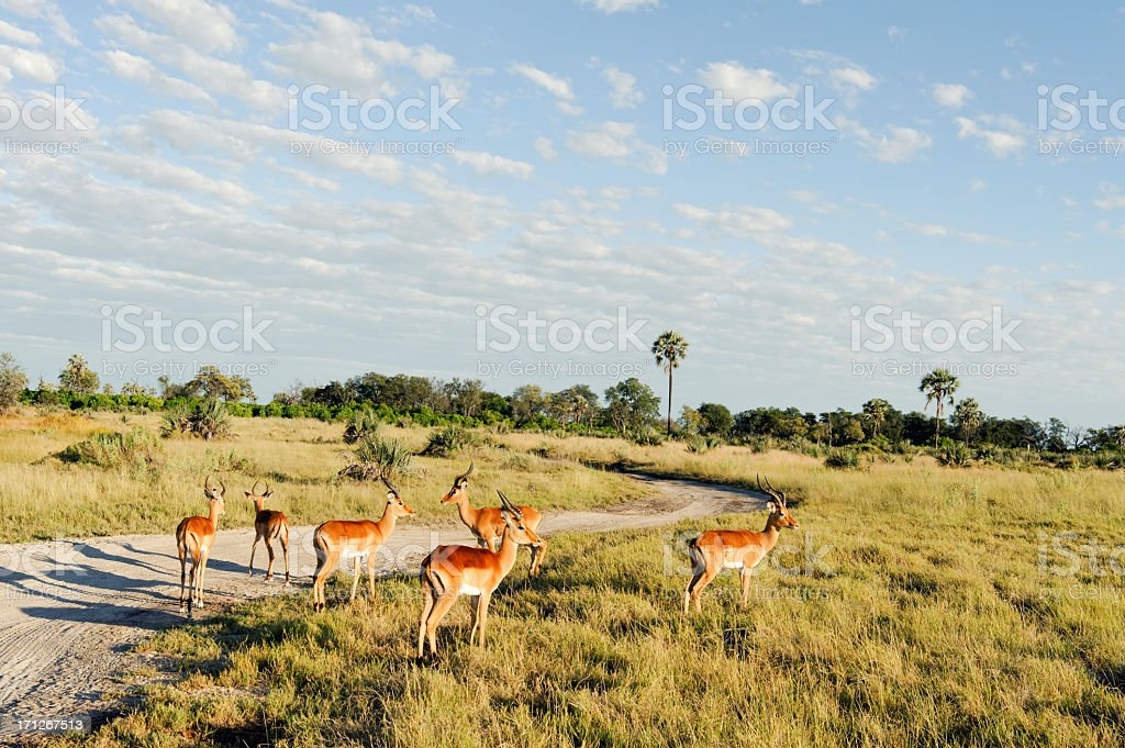 Male impalas, Okavango Delta,Botswana stock photo