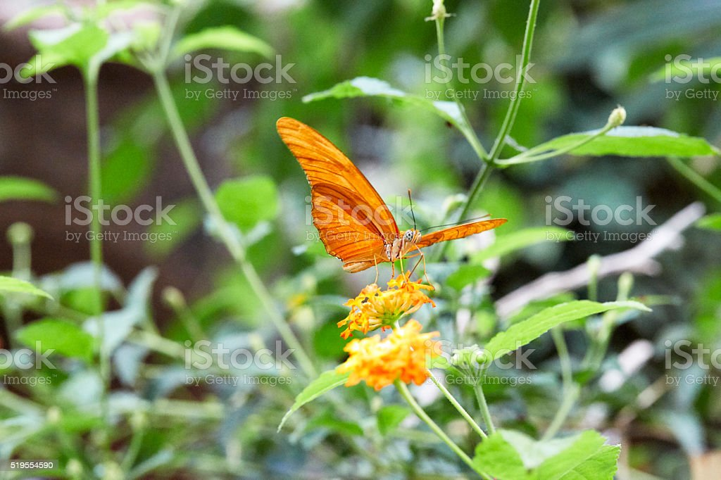 Male Julia Heliconian Dryas Iulia Butterfly stock photo