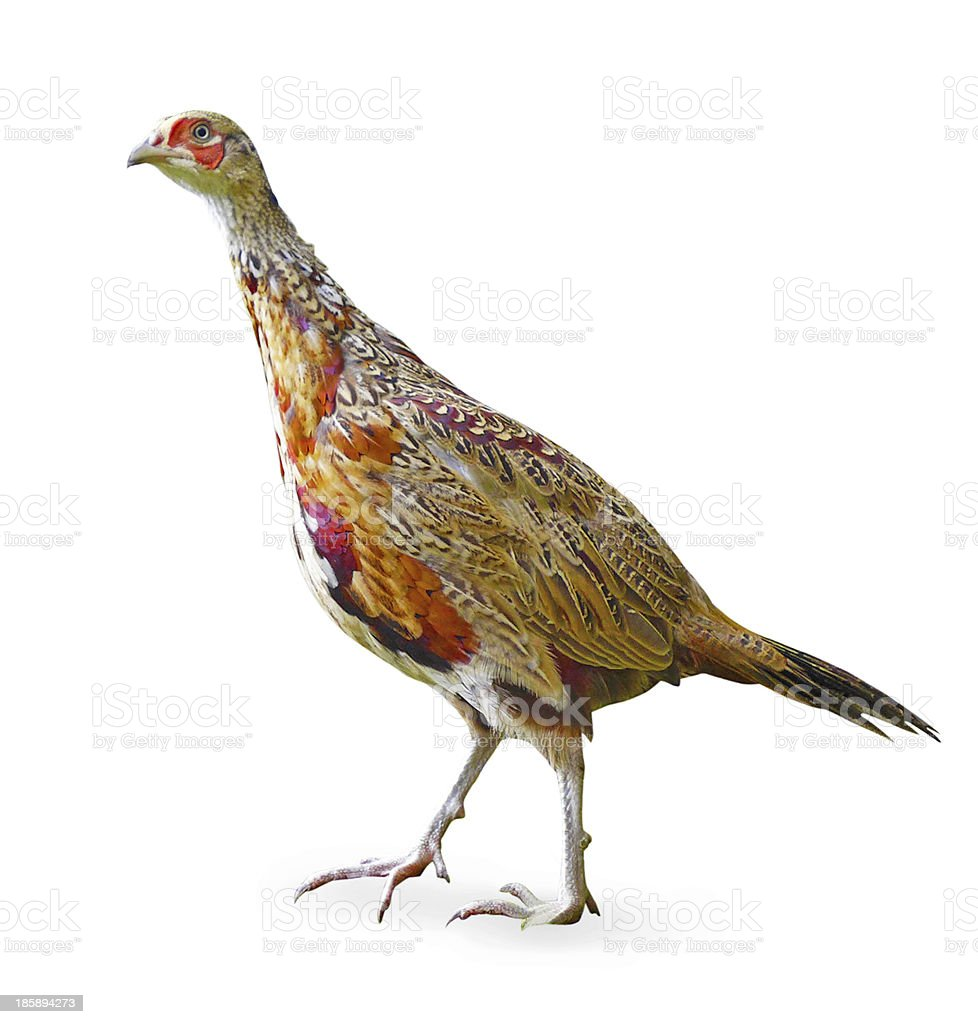Male juvenile pheasant cutout with drop shadow stock photo