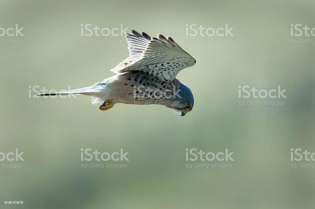Male Kestrel hovering.  Falco tinnunculus. stock photo