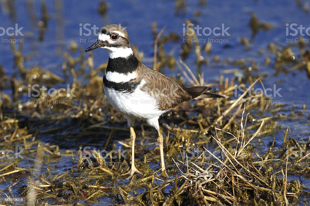 Male Killdeer (charadrius vociferus) in a Marsh stock photo