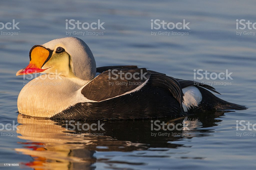 Male King Eider at Sunset stock photo